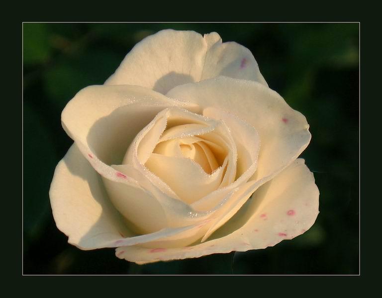 white hot rose
