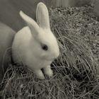 White little rabbit