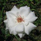 white open rose
