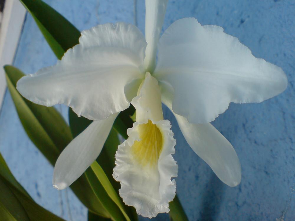 White Orchid (Orquídea branca)
