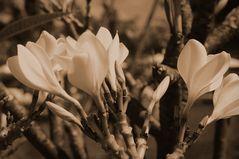 White Parfüm