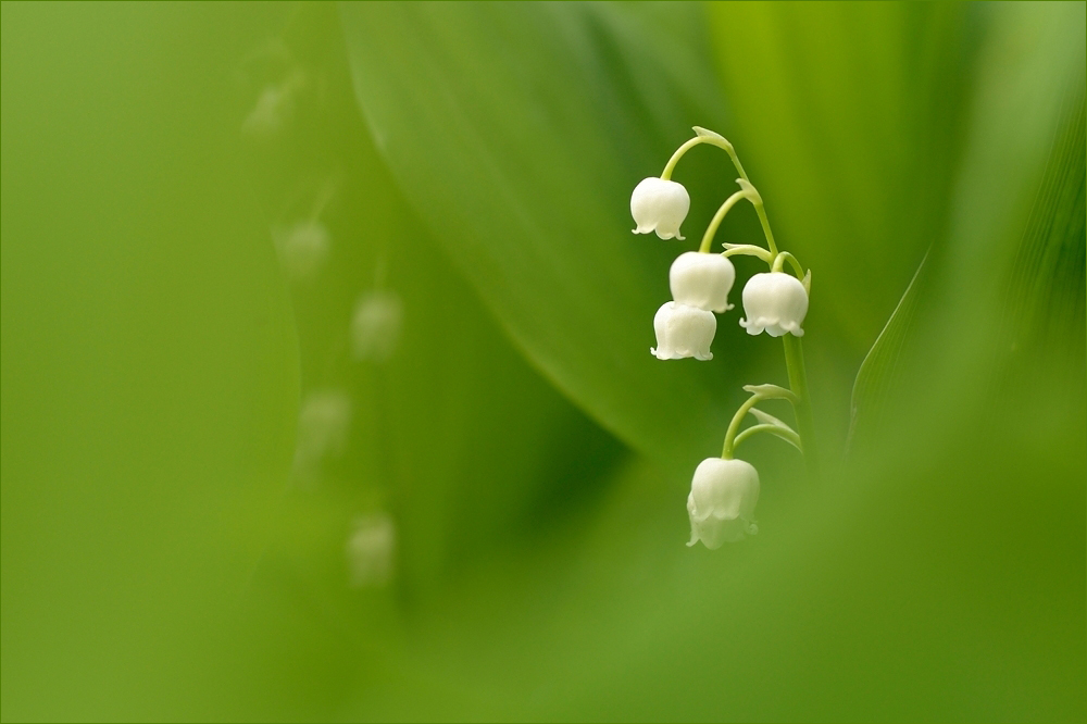 - White pearls -