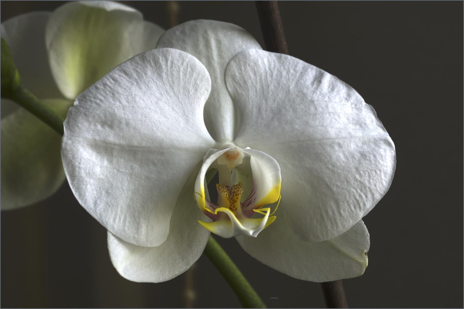 White Phalaenopsis Bloom