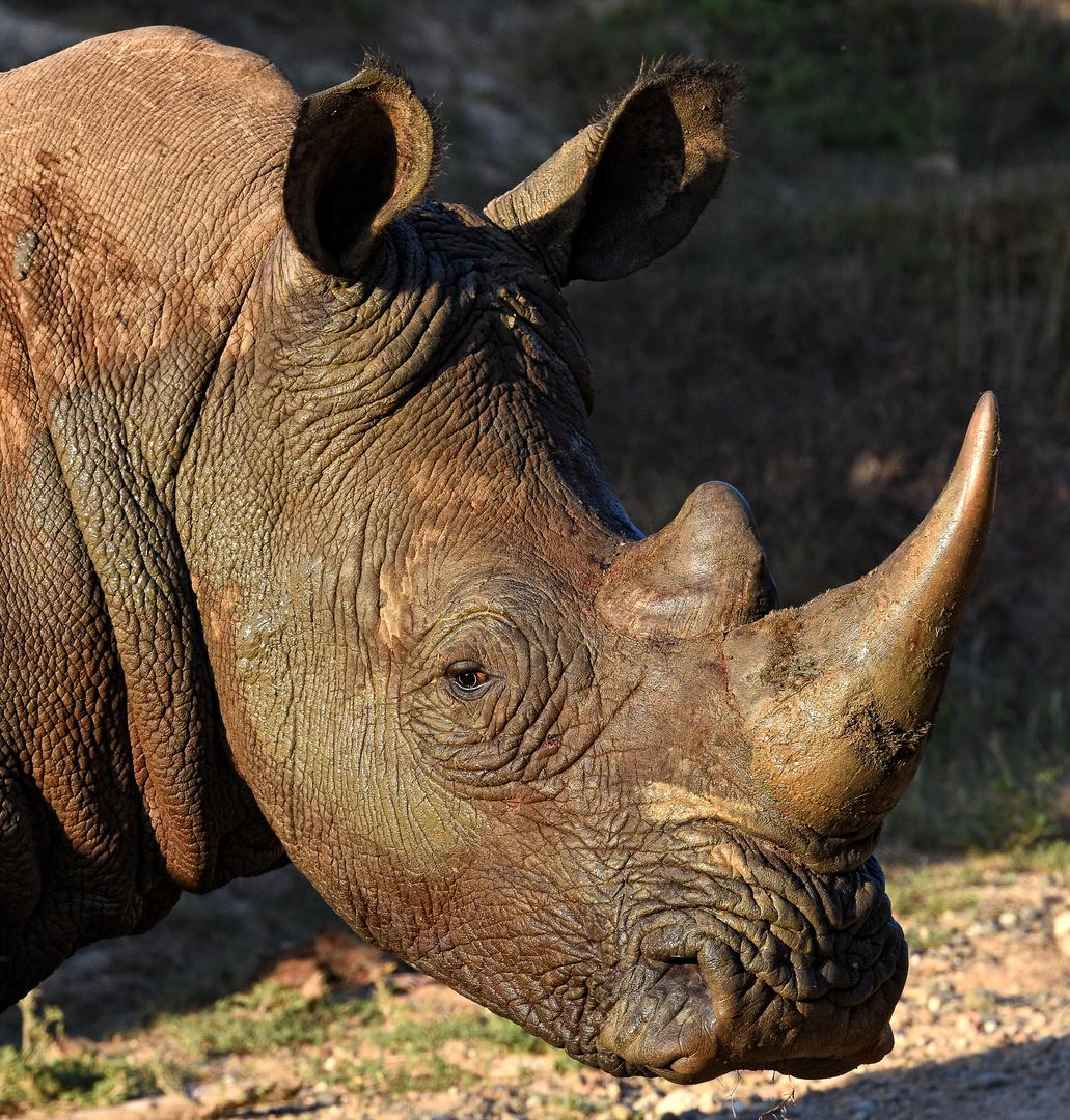 White Rhino - Breitmaulnashorn