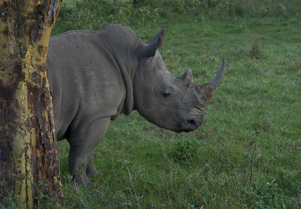 White Rhino, Breitmaulnashorn