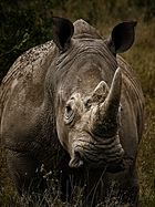 White Rhino - Face to Face