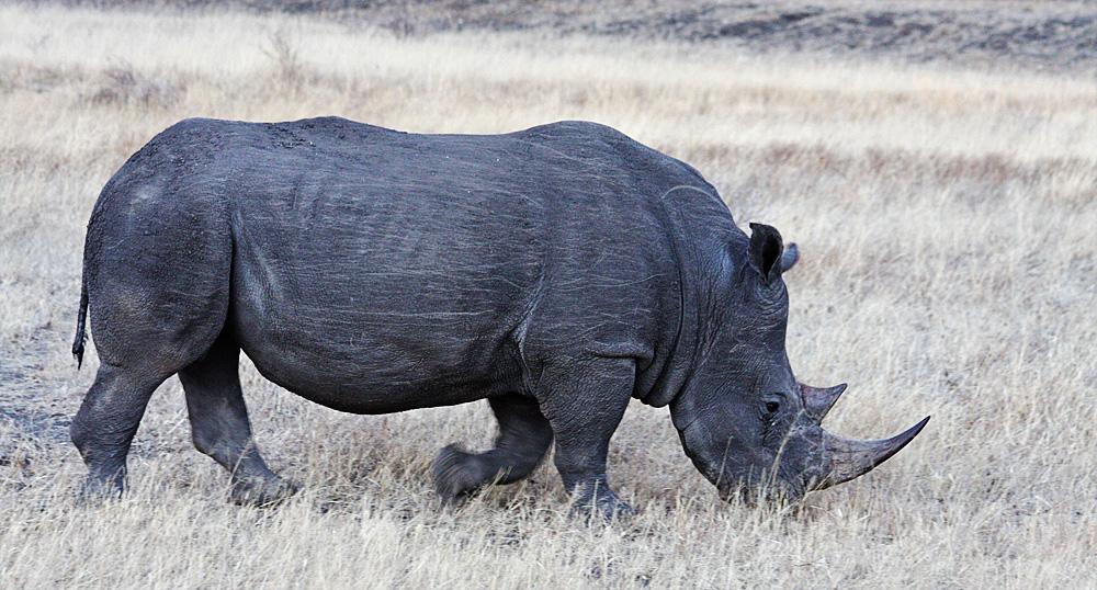 White Rhinos...
