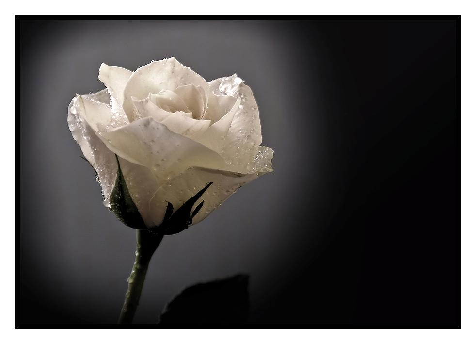 White Rose #2