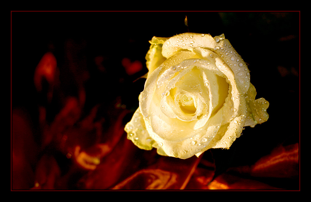 white rose and red satin