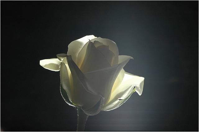 White Rose Backlight