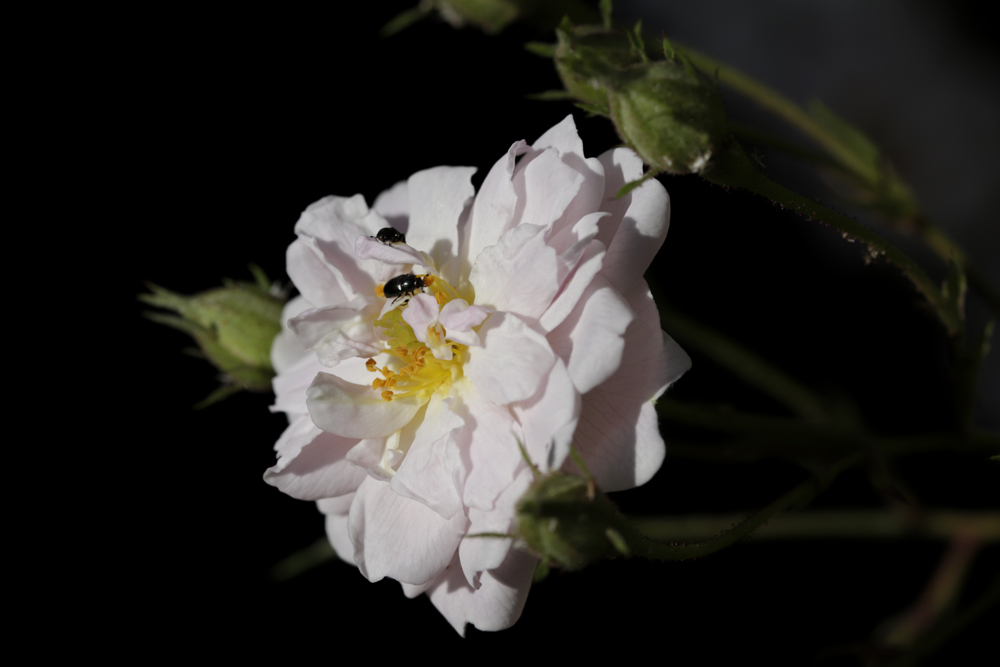 White Rose with two bugs
