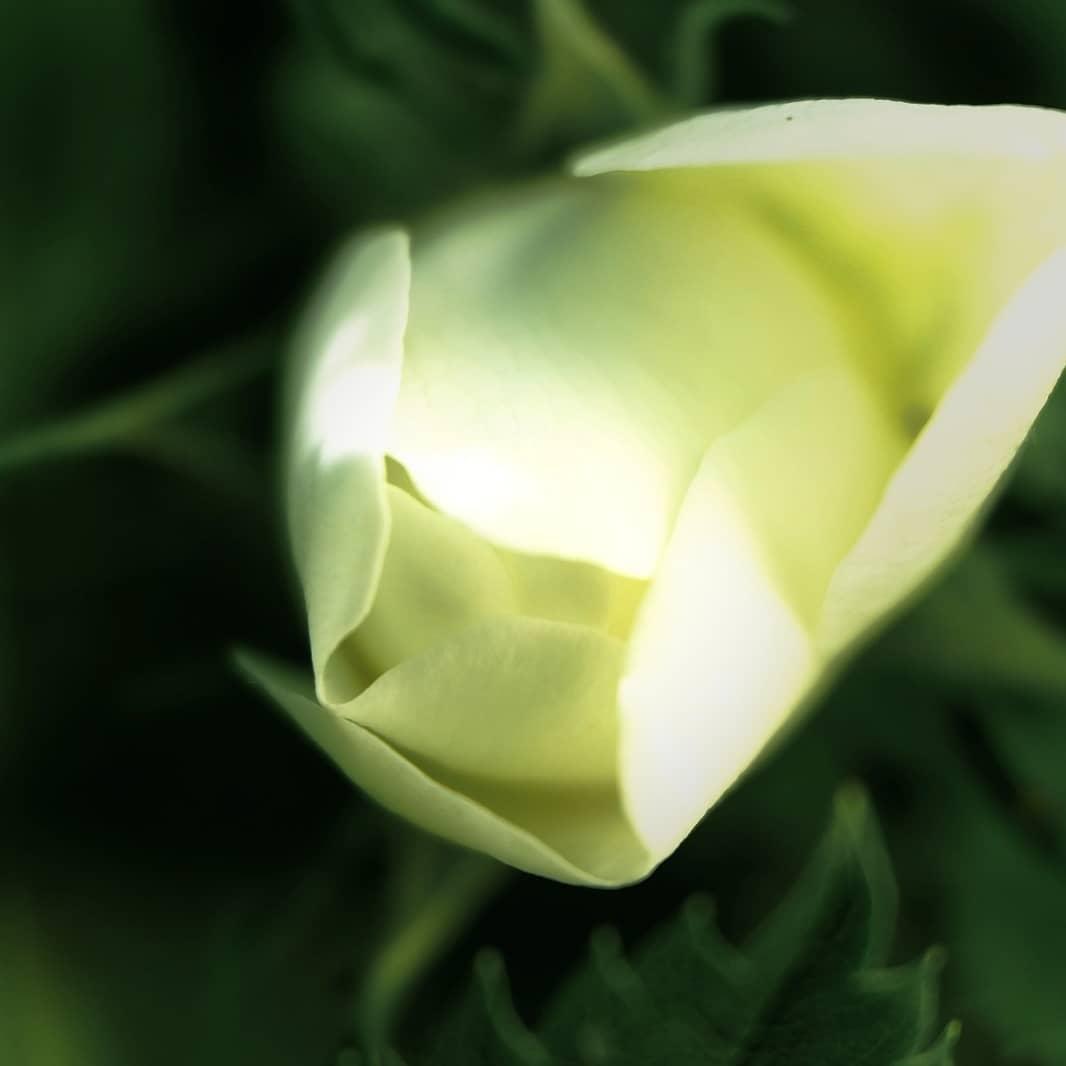 White Shadow Rose