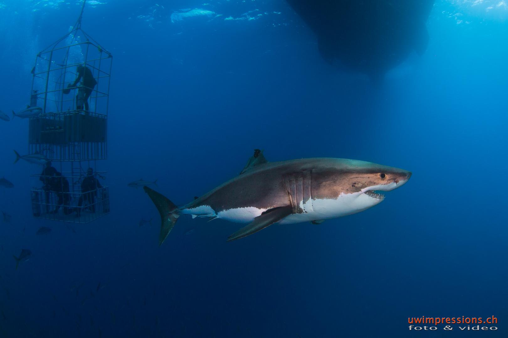 White Shark @ Guadalupe