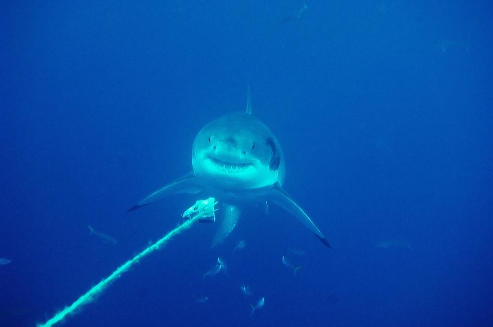 white shark II