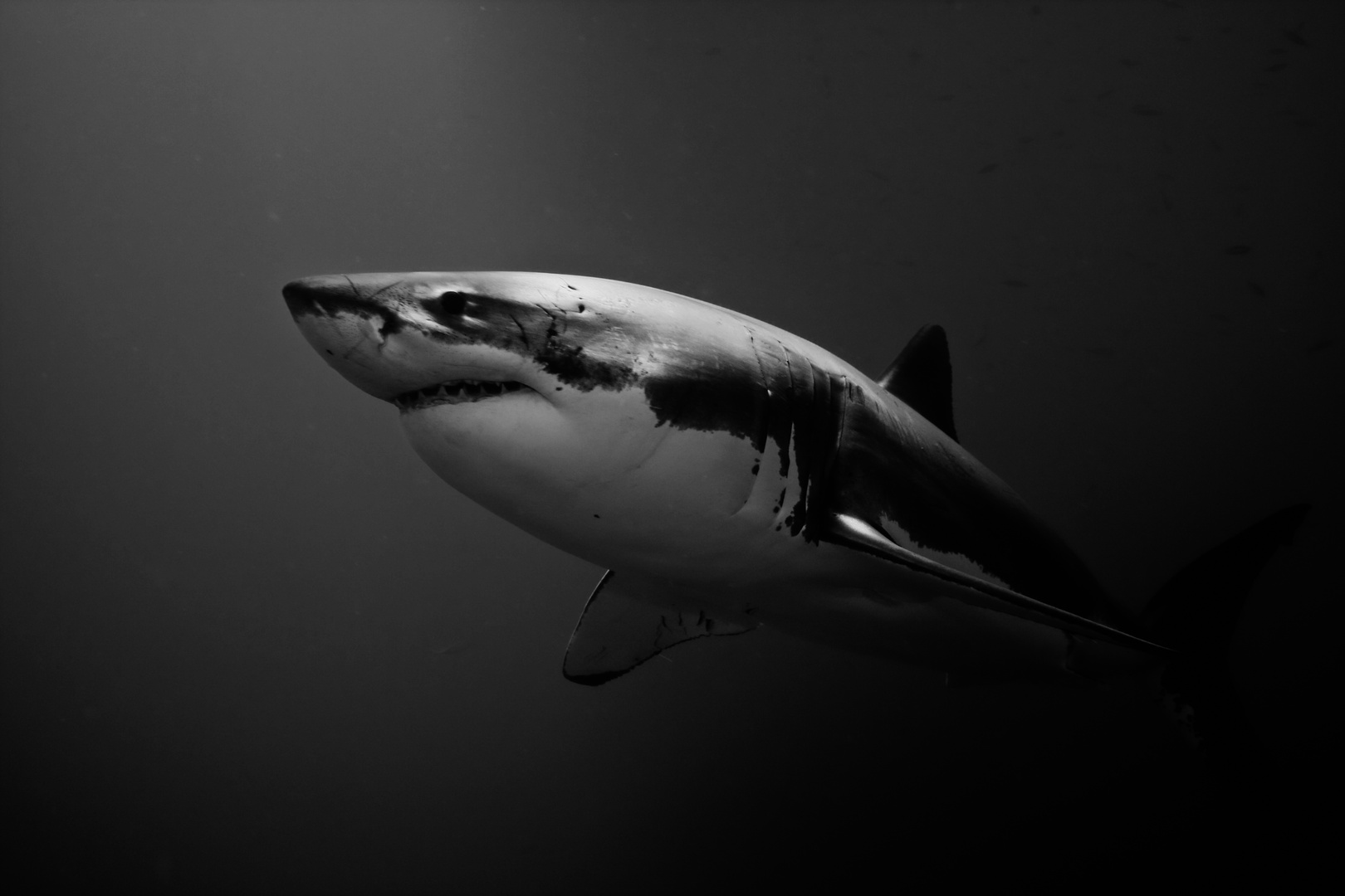 White Shark III