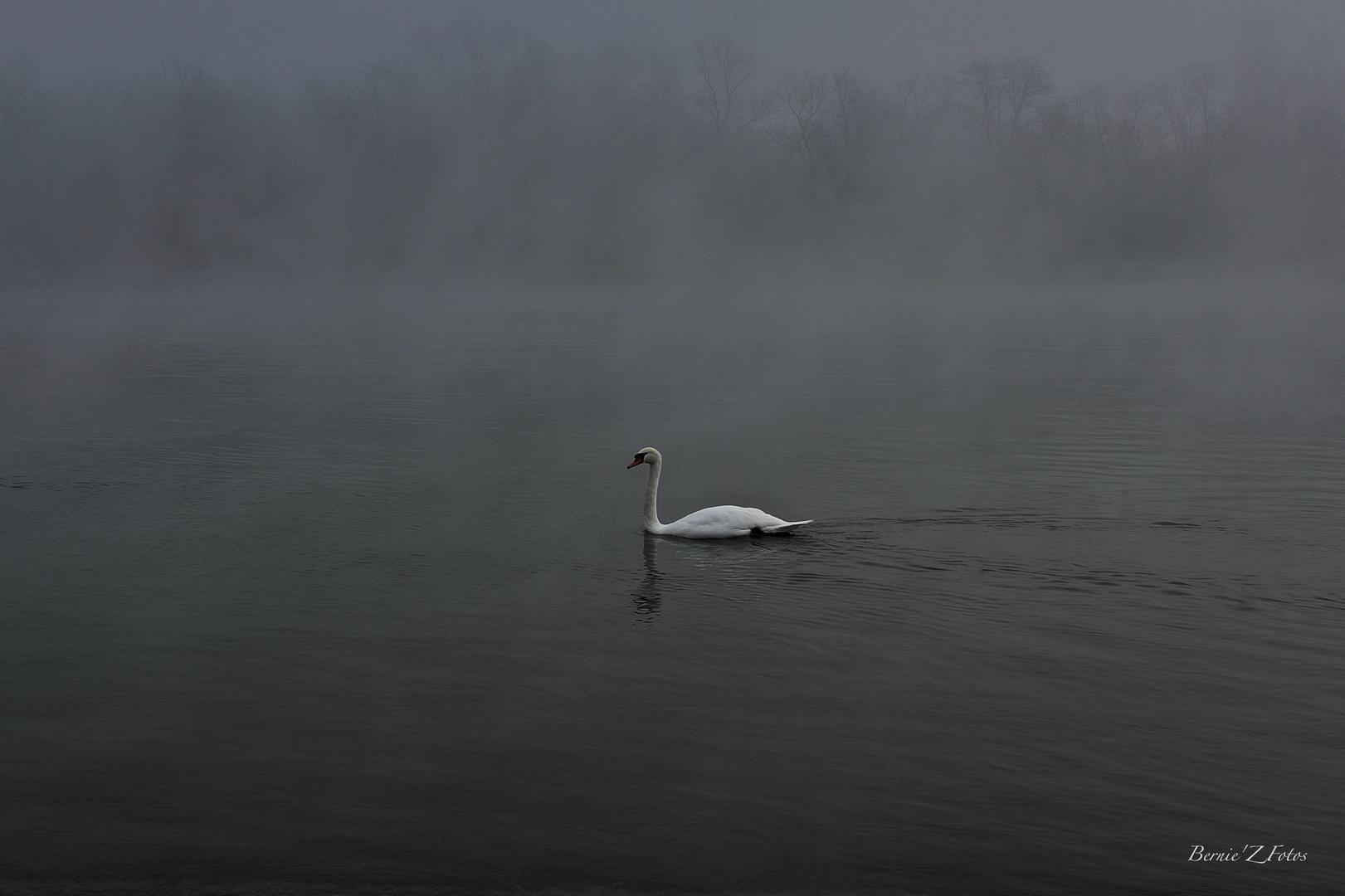 White swan in black atmosphere