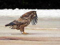 White tail eagle 1