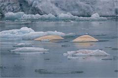 White whales....