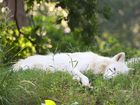 White Wolf relaxing