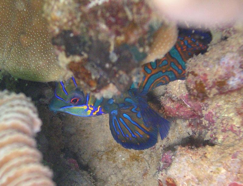 Who knows me?? I´m the Mandarinfish!