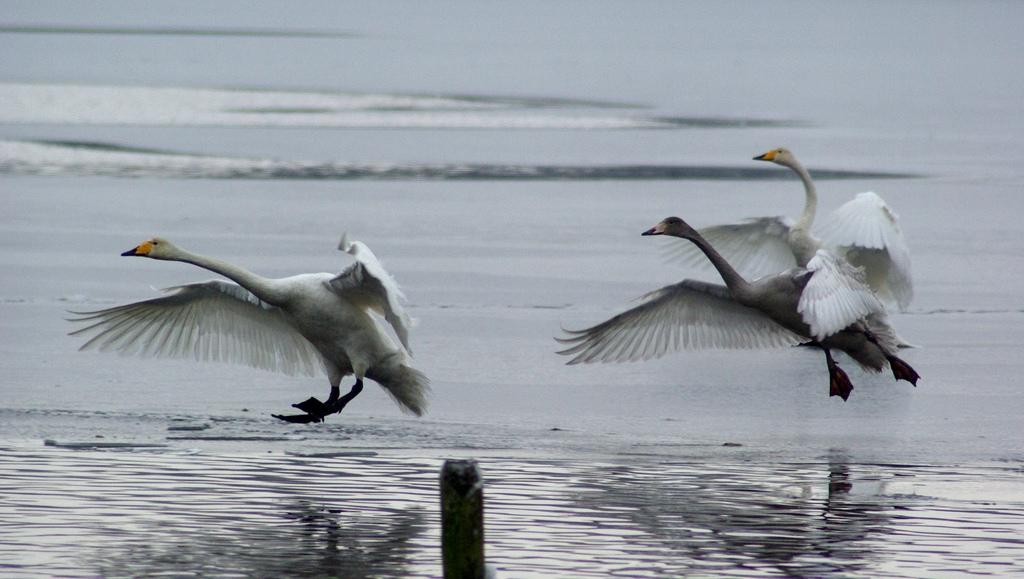 Whooper swans landing!