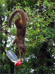 wickelbär (honigbär) / kinkajou / potos flavus (50 cm)