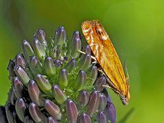 Wickler: Lathronympha strigana * - Un papillon de nuit.