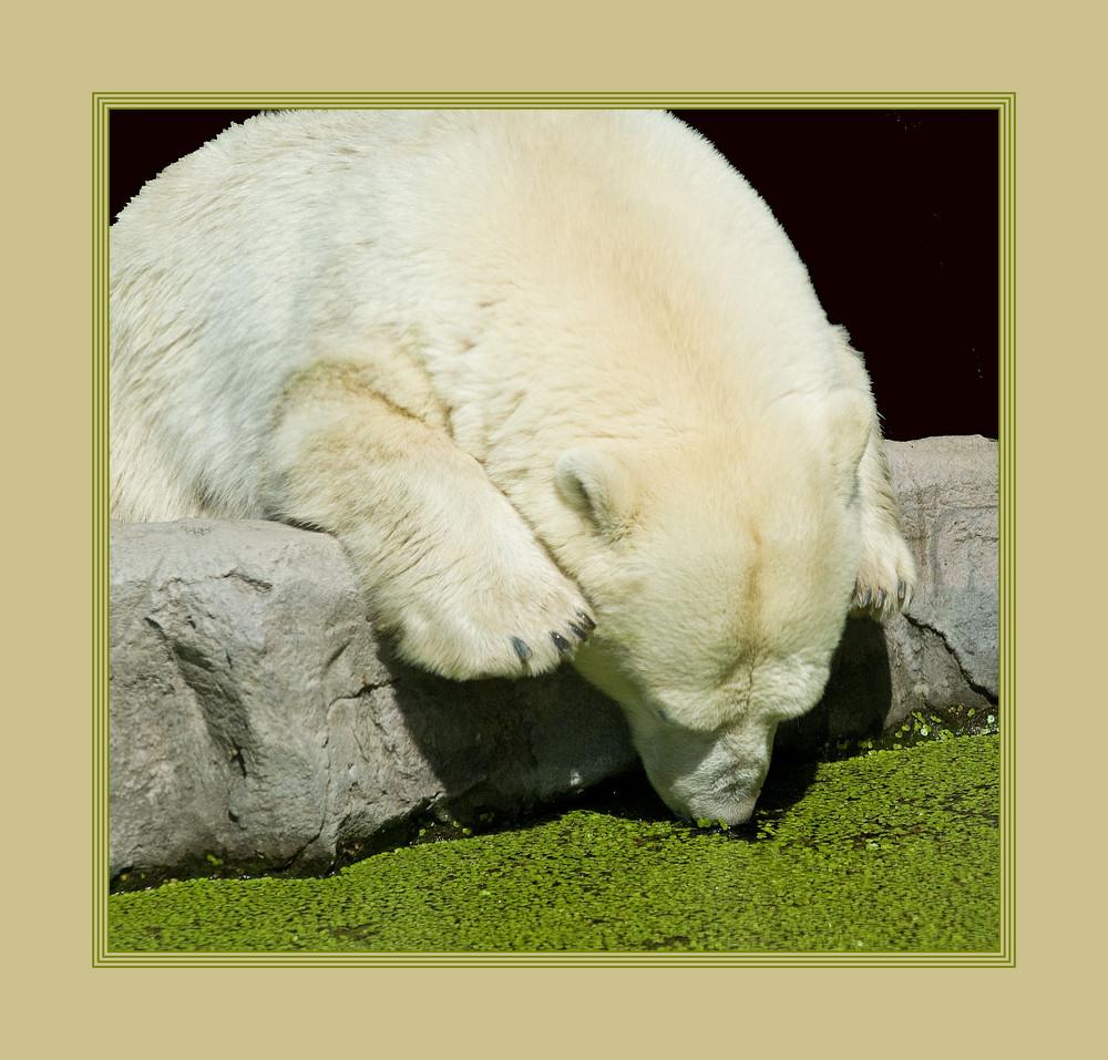 Wie der Bär zu seiner grünen Nase kam...