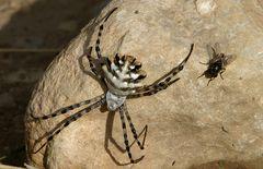 Wie diese silber-/blaumetallikfarbene Spinne....