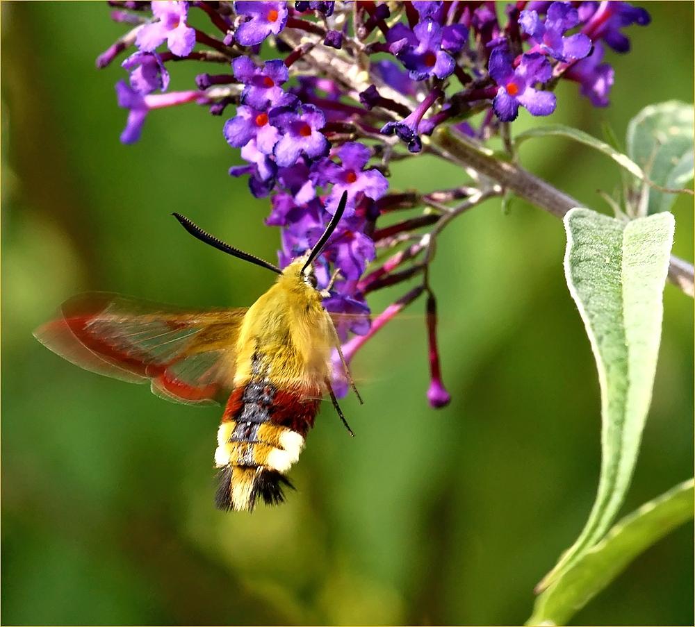 Wie ein Kolibri
