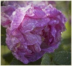 wie eine alte rose