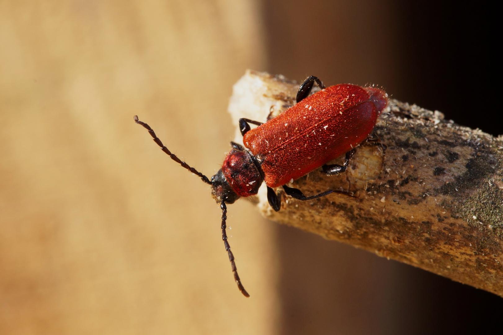 Wie heißt dieser Käfer?