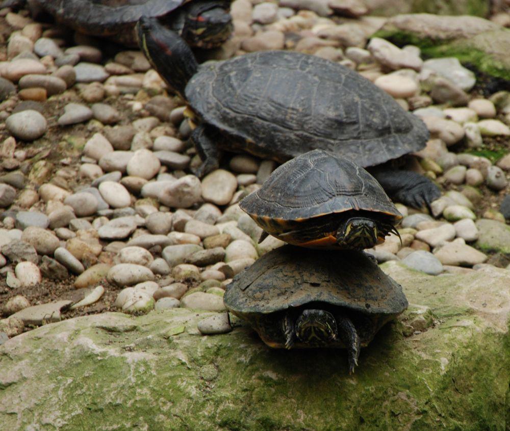 Wie hoch lassen sich Schildkröten stapeln?