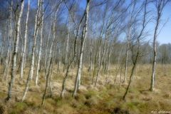 Wie im Traum - Birkenwald im Kaltenhofener Moor