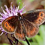 Wie immer keine Ahnung, was das für ein Schmetterling ist