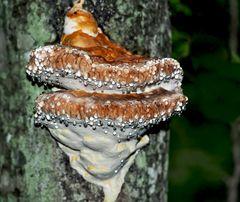 Wie kleine Sterne im dunkeln Wald! - Polypore sur un tronc d'arbre. *