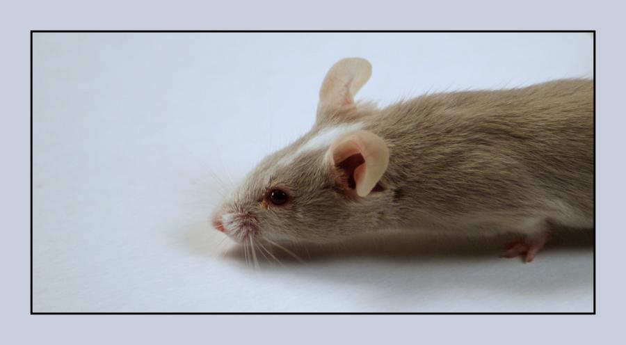 Wie lang ist eine Maus? Foto & Bild   tiere, tierdetails