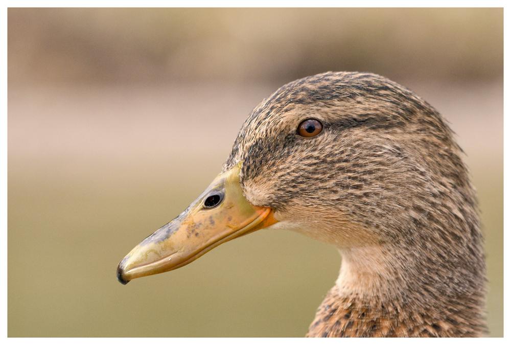 Wie nur eine Ente?