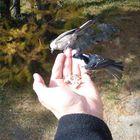 Wie sich doch Vögel an den Menschen gewöhnen:-)