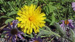 Wie versprochen nun auch die Blüte vom Zottigen Habichtskraut...