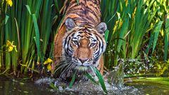 WIE wäscht man einen Tiger?