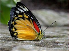 Wie wird man ein Schmetterling?