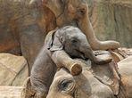 wie wohl sich der kleine Elefant.....