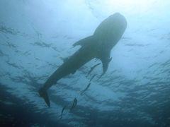 wieder ein Walhai!