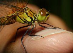 wieder eine Libelle auf Finger :-)