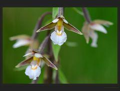 Wieder eine Orchidee mehr...