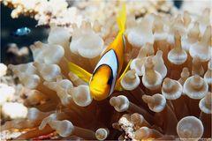 wieder mal ein Anemonenfisch