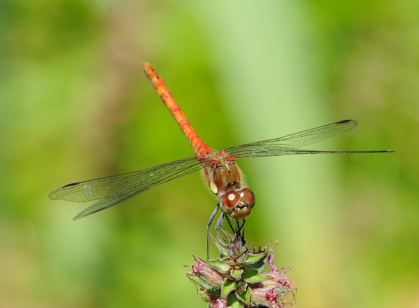 Wieder mal eine Libelle :-)