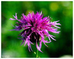 - Wiesen Flockenblume -