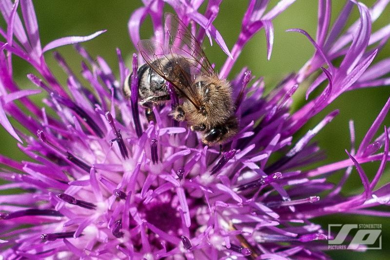 Wiesen Flockenblume mit Biene